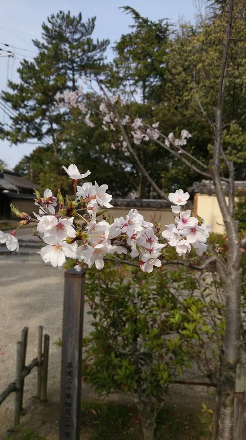 0405剛桜4