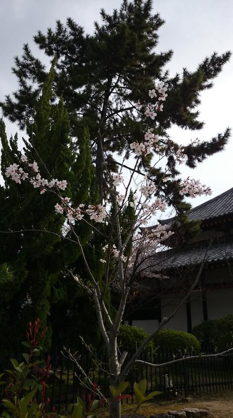 0405剛桜3
