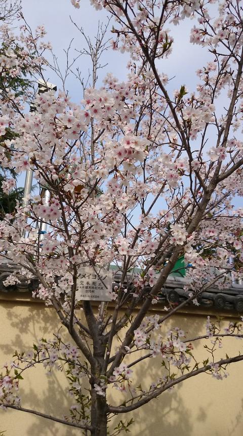0405剛桜1