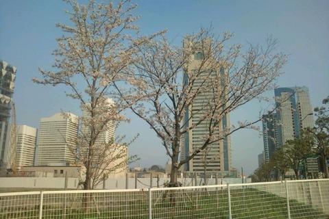 剛桜201004