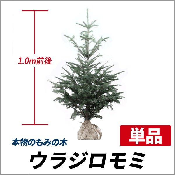 もみの木 (ウラジロモミ) 樹高1.0m前後 (根鉢含まず)