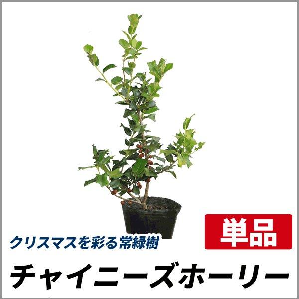 チャイニーズホーリー 樹高40〜50cm前後 単品