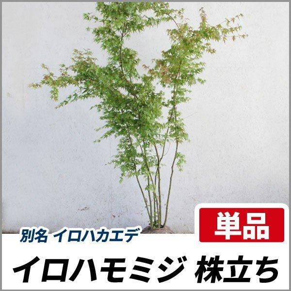 イロハモミジ 株立ち 樹高1.5〜1.8m前後 (根鉢含まず)