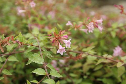 アベリアのお花が咲いています!