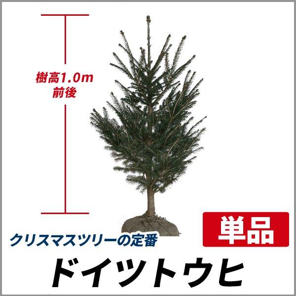 ドイツトウヒ 樹高1.0m前後 (根鉢含まず)