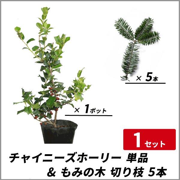 チャイニーズホーリー 樹高40〜50cm前後 単品 & もみの木 切り枝(約15〜20cm) 5本セット