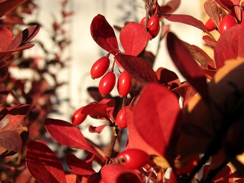 barberry-2505013_640