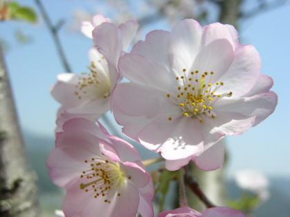 桜:Accolade