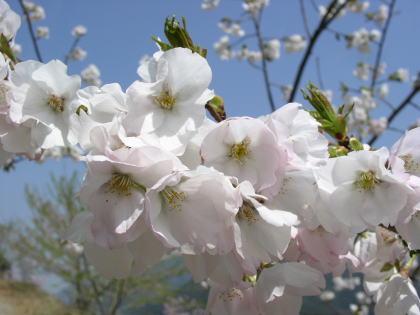 桜:衣通姫