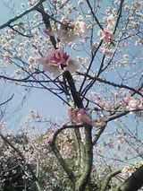 3月22日浦安市の桜