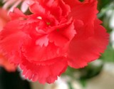 花言葉「愛を信じる」