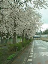三国町テクノポートの桜06.04.12