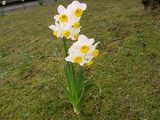 冬の花「水仙」