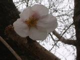 桜の花みつけた