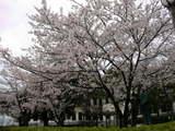 みくに龍翔館の桜
