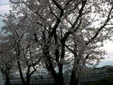 実家の窓から見える桜