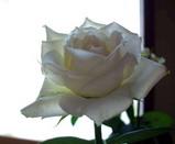 結婚式でもらった白薔薇