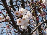 桜色なんだね