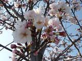 蕾と桜が半分こ