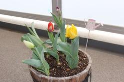tulip_130326