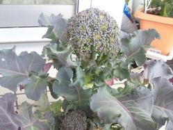 broccoli_140326_02