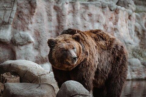 【衝撃】11歳少年「女子にカッコイイとこ見せたろww」→ クマの檻に入った結果……