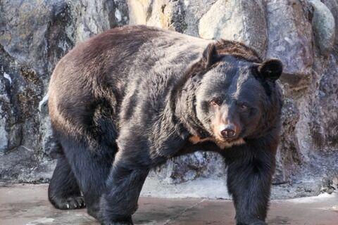【恐怖】石川県の熊...マヂでヤバい件!!!.....
