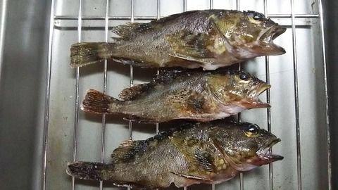 【画像】浜名湖で釣ったメバルを素揚げにするよー