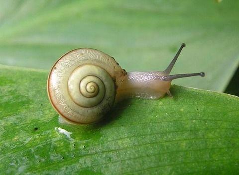 【閲覧注意】カタツムリを食べた女性、恐怖の寄生虫が脳に回り死亡