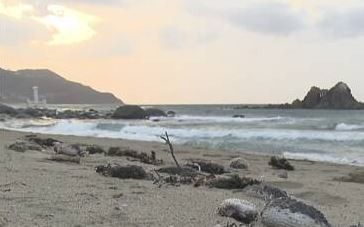【悲報】ハリセンボン、寒さで活動鈍ったか海岸で大量死