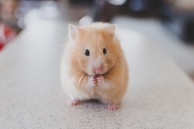 【悲報】ワイのハムスター、太りすぎてハウスにハマって出られない