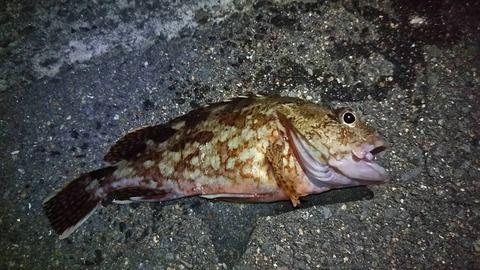 20数センチあったんだけどこの魚何?
