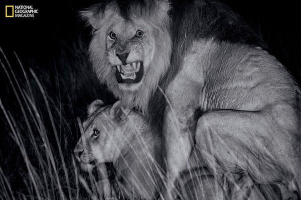【画像】ライオンの交尾wwwwwwwwwww