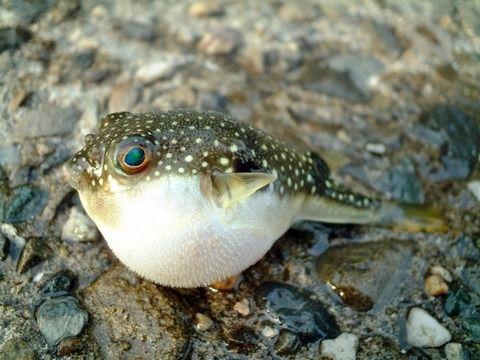 釣り人「あー、フグに餌取られた!フグ湧いた!チッ、帰るか」