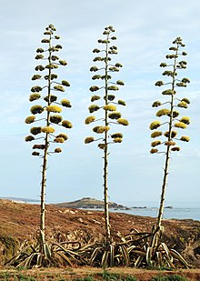 220px-Agave_July_2011-1