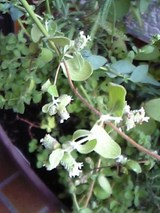 マジョラムの花