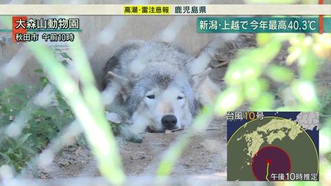 大森山動物園 夏バテオオカミ