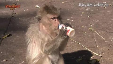 ヤクルト猿