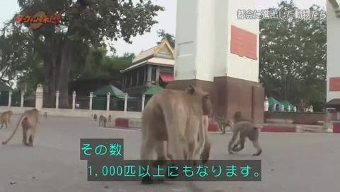 ダーウィンが来た タイ カニクイザル