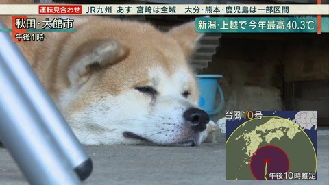 夏バテ秋田犬