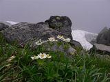 ハクサンイチゲと雪渓