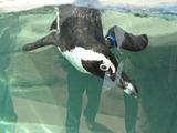 フンボルトペンギン1