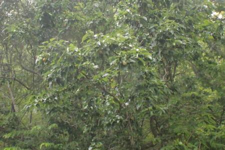 IMG_5886梨の木2