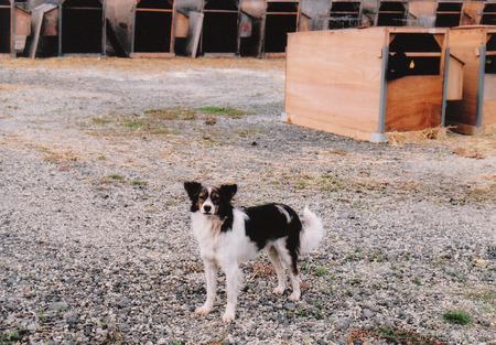 2003-10-13下白滝牛小屋と犬