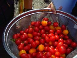 152美唄トマト