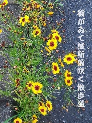 猫がゐて波斯菊咲く散歩道