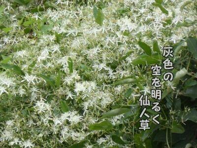灰色の空を明るく仙人草