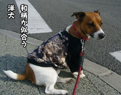 和柄の似合う犬
