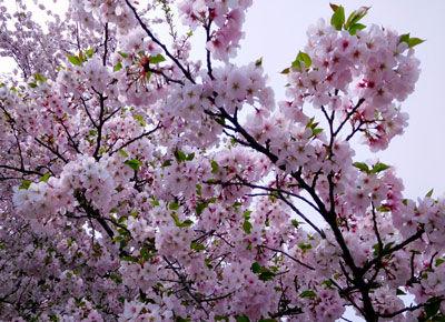 20160409DSCN4331桜SM