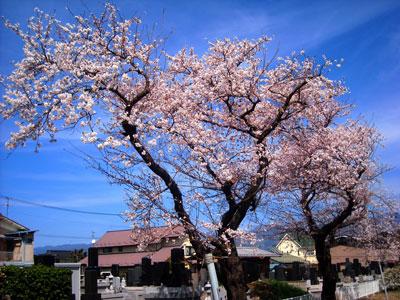 20110417DSCN2398松本桜SM